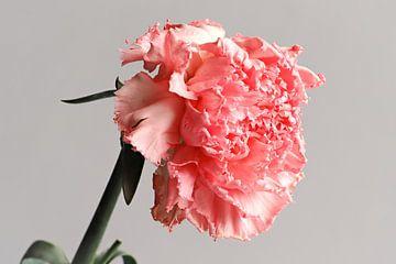 Die Garten-Nelke von Randy Riepe