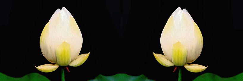 Heiliger Lotus Zwillinge von Eduard Lamping