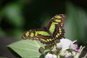 vlinder van Willemijn van Donkelaar
