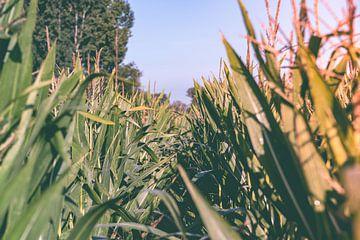 Durch das Maisfeld von Davy Vernaillen