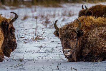Nahaufnahme Herde von Wisenten im Schnee. von Erwin Floor