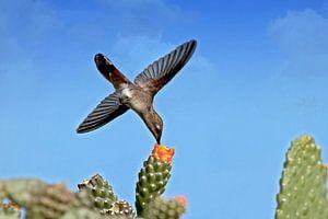 rode kolibrie in de blauwe lucht
