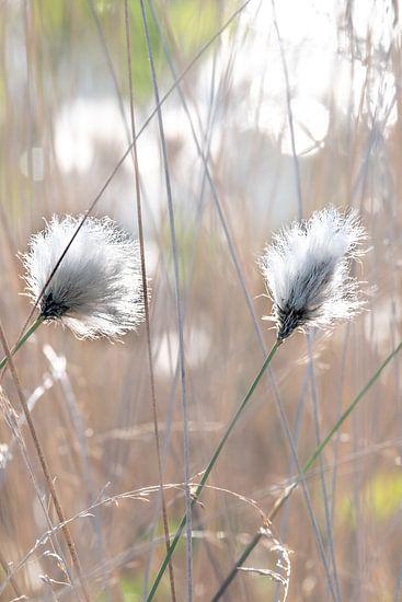 cotton grass van Kurt Krause