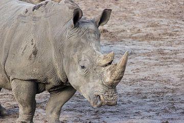 Breitmaulnashorn / Weißes Nashorn von Rob Legius