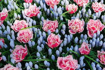 Bloemen - Anjers en blauwe druifjes - Nederland van