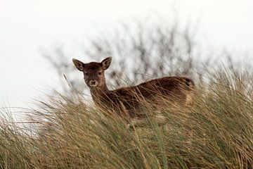 Looking deer sur Eelke Cooiman