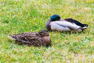 Stockenten (Anas platyrhynchos) machen es sich auf dem Rasen bequem und genießen ihre Zweisamkeit un von Matthias Korn