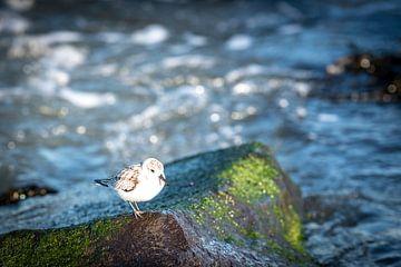 Steltoper aan de Nederlandse kust van Jolanda van Straaten