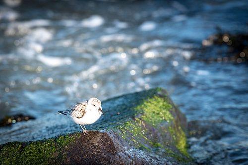 Steltoper aan de Nederlandse kust