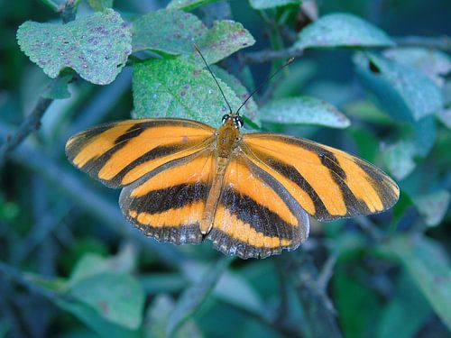 Dryadula phaetusa ( Tropische vlinders ) Collectie 2018 van Jan van Bruggen