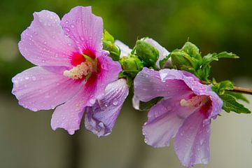 de rose bloem van Raoul   La Crois