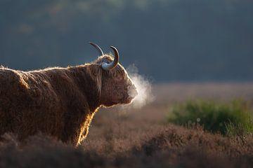 Schotse hooglander met adem van Nick van Beusekom