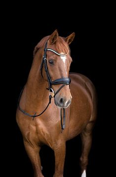 Beautiful chestnut gelding blackphoto van Marissa Hoorn