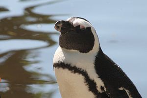 Pinguïn dromend over een zonnebril van Maya Schoeber