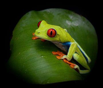 M. œil rouge, grenouille arboricole à œil rouge sur feuilles vertes sur Bianca ter Riet