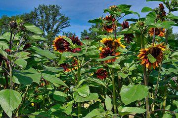 Bos rode zonnebloemen van J..M de Jong-Jansen