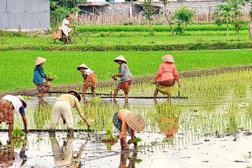 Reispflanzen auf der Sawah von Eduard Lamping