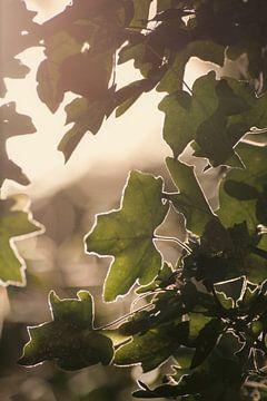 Zonnebladeren van Iwan Heeffer