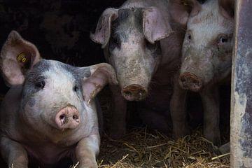 Schweine von Manon