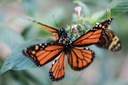 Monarch butterfly van Mark Zanderink