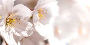 Kirschblüte Makro von Dieter Walther