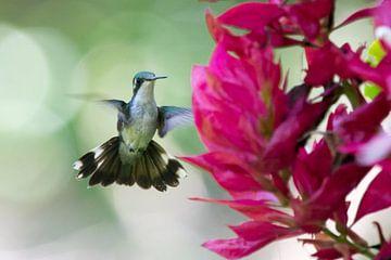 Vliegende kolibrie die voor een bloem hangt. van Thijs van den Burg