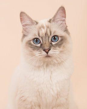 Ragdoll kat portret / Ragdoll cat portrait von Elles Rijsdijk