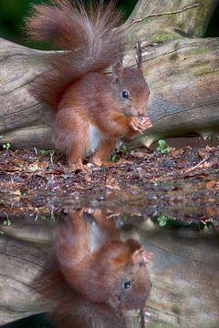 eekhoorn von emmie van der knokke
