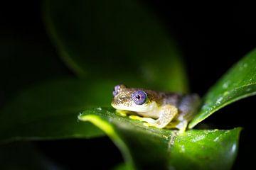 Madagaskar rietkikker van Dennis van de Water