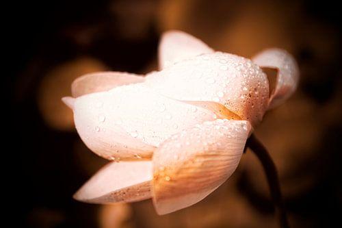 Lotusbloem in de regen 2