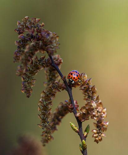 Lieveheersbeestje op een takje van