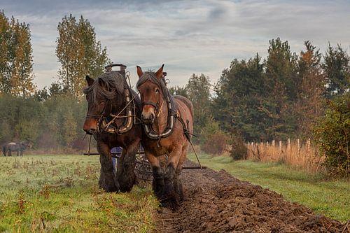 Hardwerkende paarden voor de ploeg