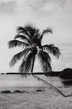 Palmboom Florida