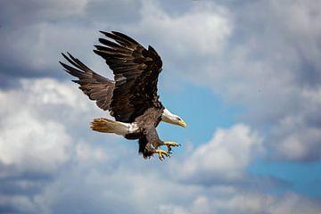 Landung des Seeadlers von gea strucks
