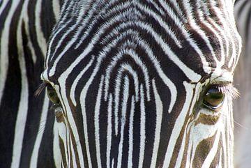 Zebra sur Anita Vromans