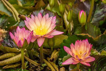 Lotus van Karl-Heinz Lüpke