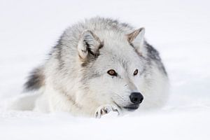 Gray Wolf *Canis lupus* resting in snow