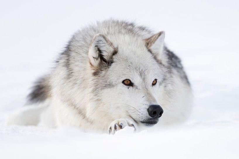 Gray Wolf *Canis lupus* resting in snow van wunderbare Erde