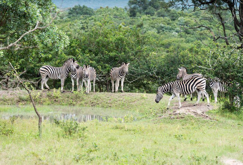 group of zebras  van Compuinfoto .