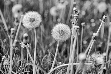 pluizenbollen van paardebloemen von Hanneke Luit