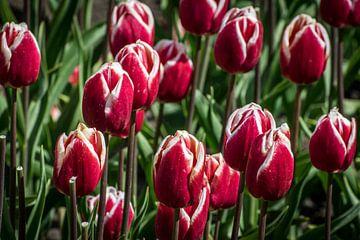 Tulpen rood sur Hans Tijssen