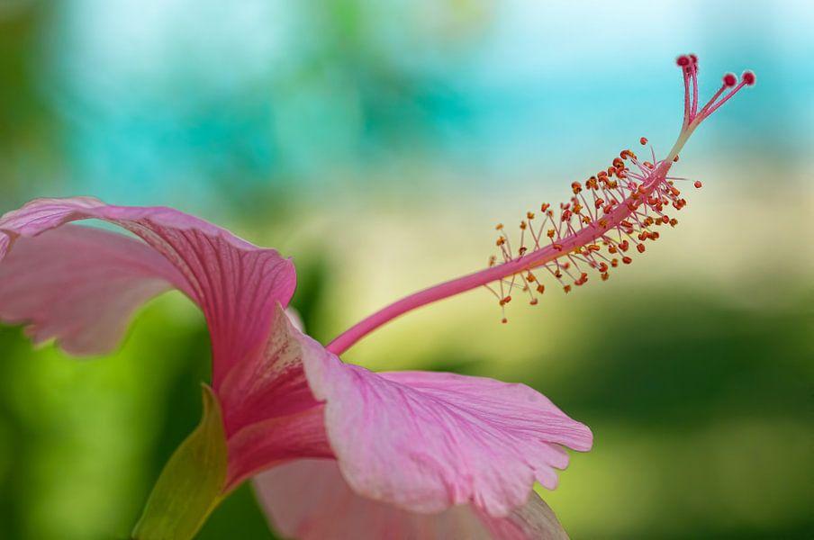 Hibiscus van Monique Simons