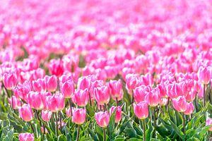 Roze Tulpen in een veld in de lente