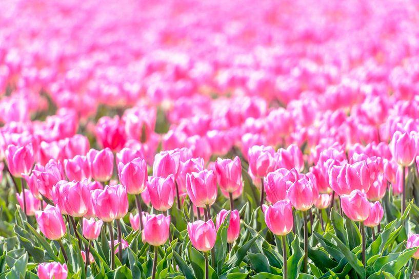 Roze Tulpen in een veld in de lente van Sjoerd van der Wal