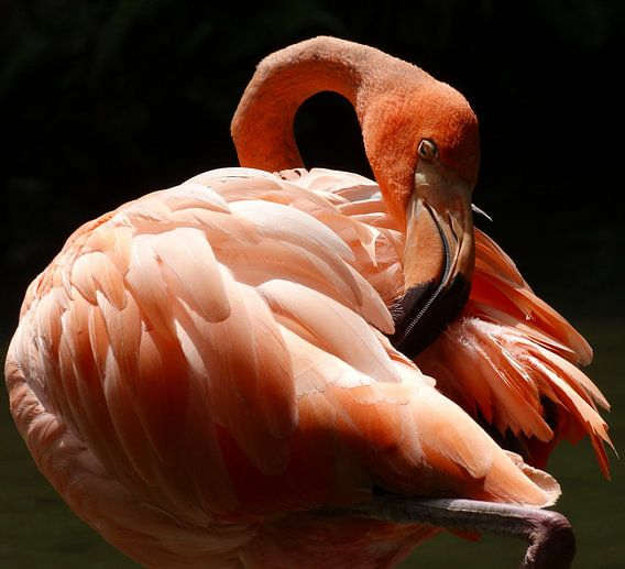 Caribische flamingo van Iwona Sdunek alias ANOWI