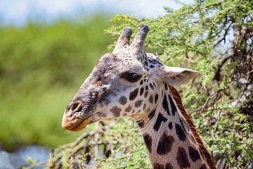 Masai giraffe van Peter Michel