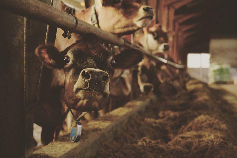 Koeien van Angelique Dost