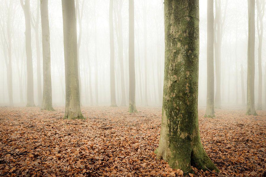 Beukenbos op de Veluwe tijdens een mistige ochtend