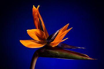 Tropische Bloem Bird of Paradise van René van der Horst