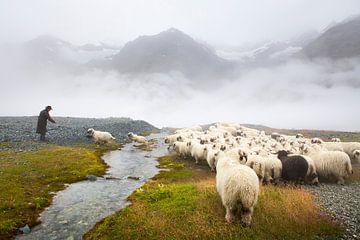 Schwarznase schapen Zermatt van